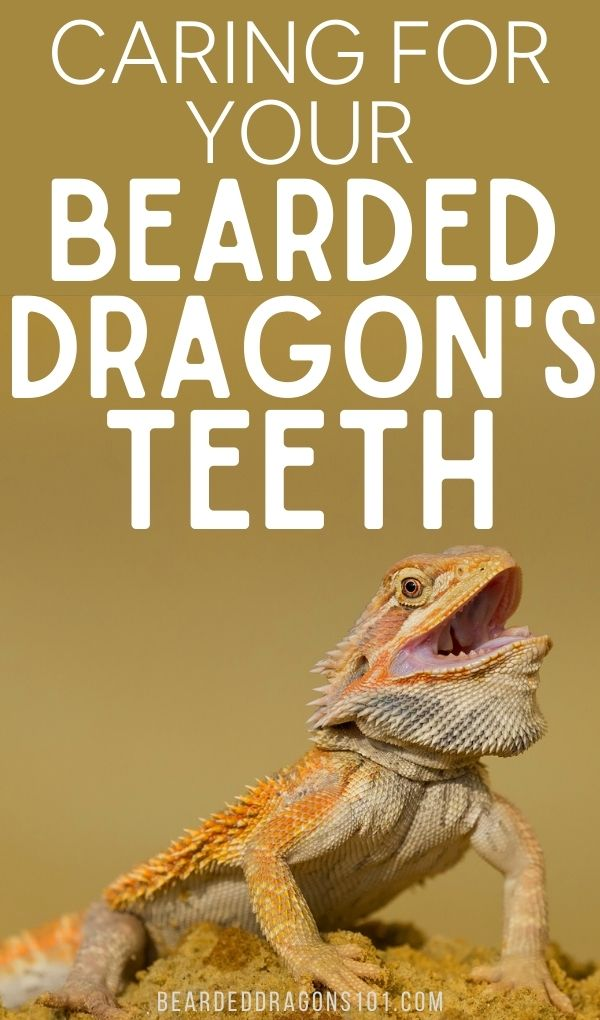 Caring For Your Bearded Dragon's Teeth - pin for pinterest