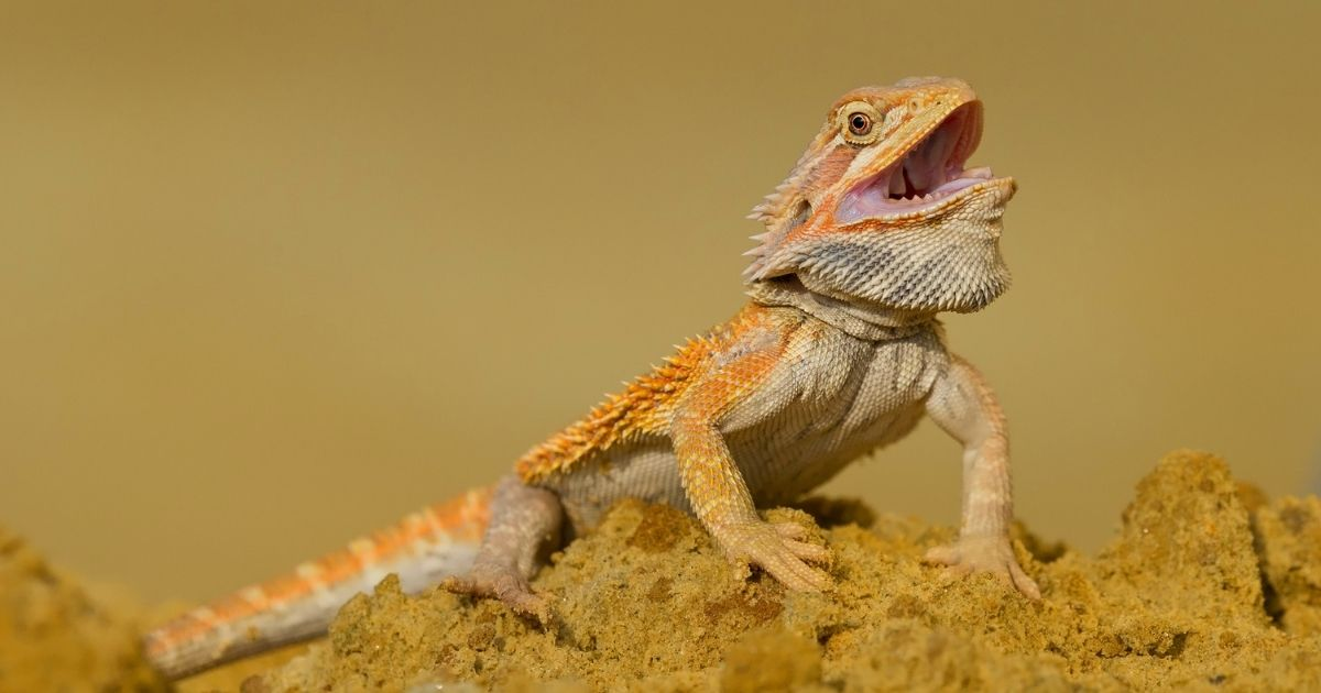 Bearded dragon with mouth open showing teeth